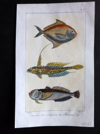 Lacepede & Oudart C1830 Hand Col Fish Print. Butterfish etc 50